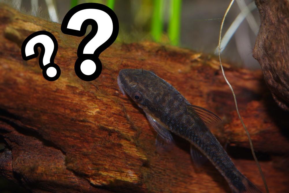 オトシンクルスの繁殖って難しいの?