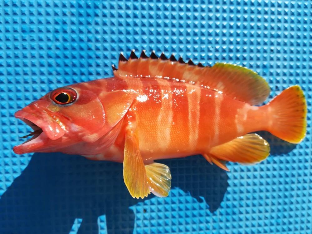 ソルパラのライトジギングモデルは根魚もターゲット