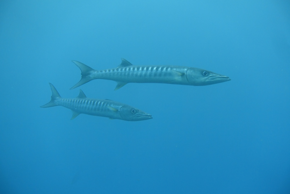 バラクーダはドクカマスとも呼ばれるシガテラ毒魚