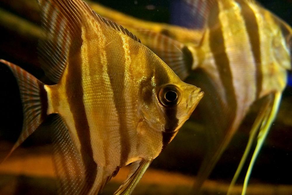 オトシンクルスと大きな魚との混泳は注意