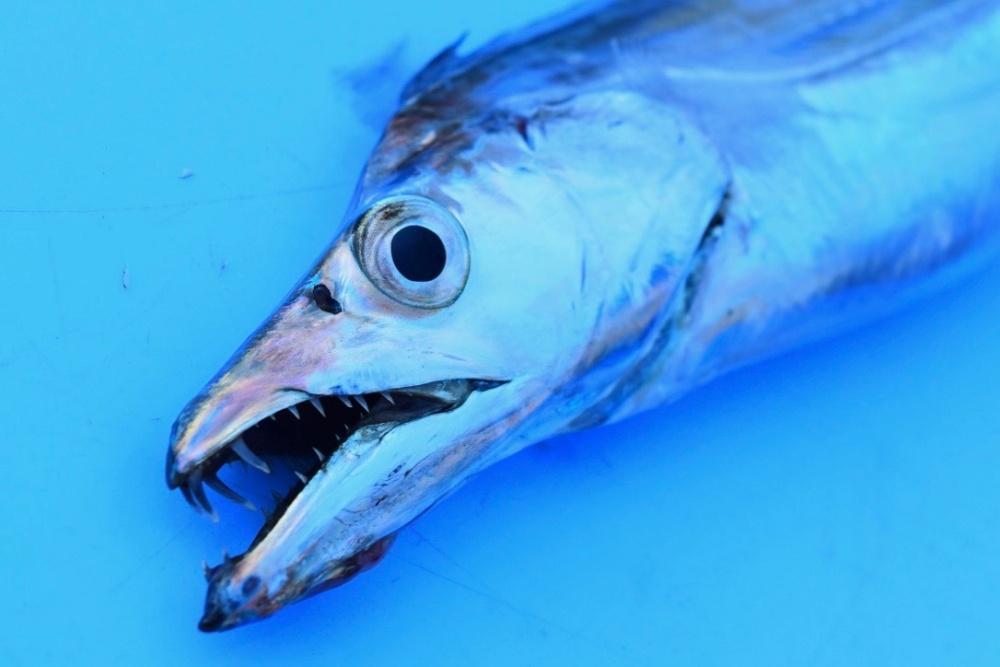 太刀魚ワインドの釣り方を解説
